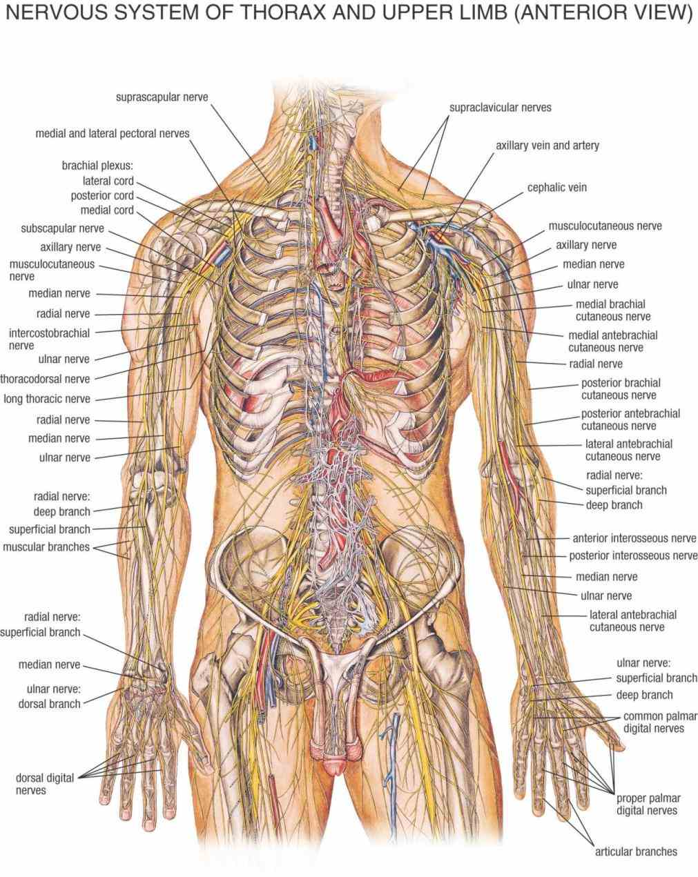 the human body while all important two sets of that most the app All The Nerves In The Human