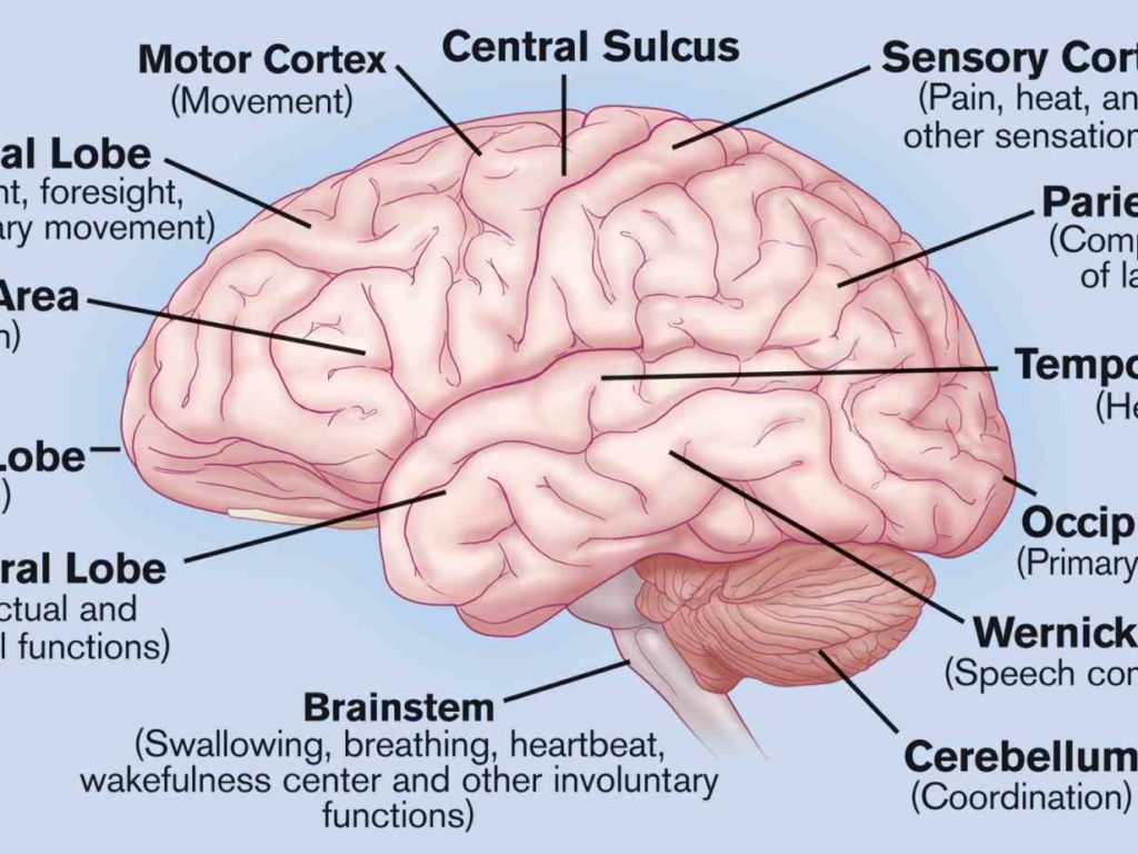 Anatomy of the brain and its functions