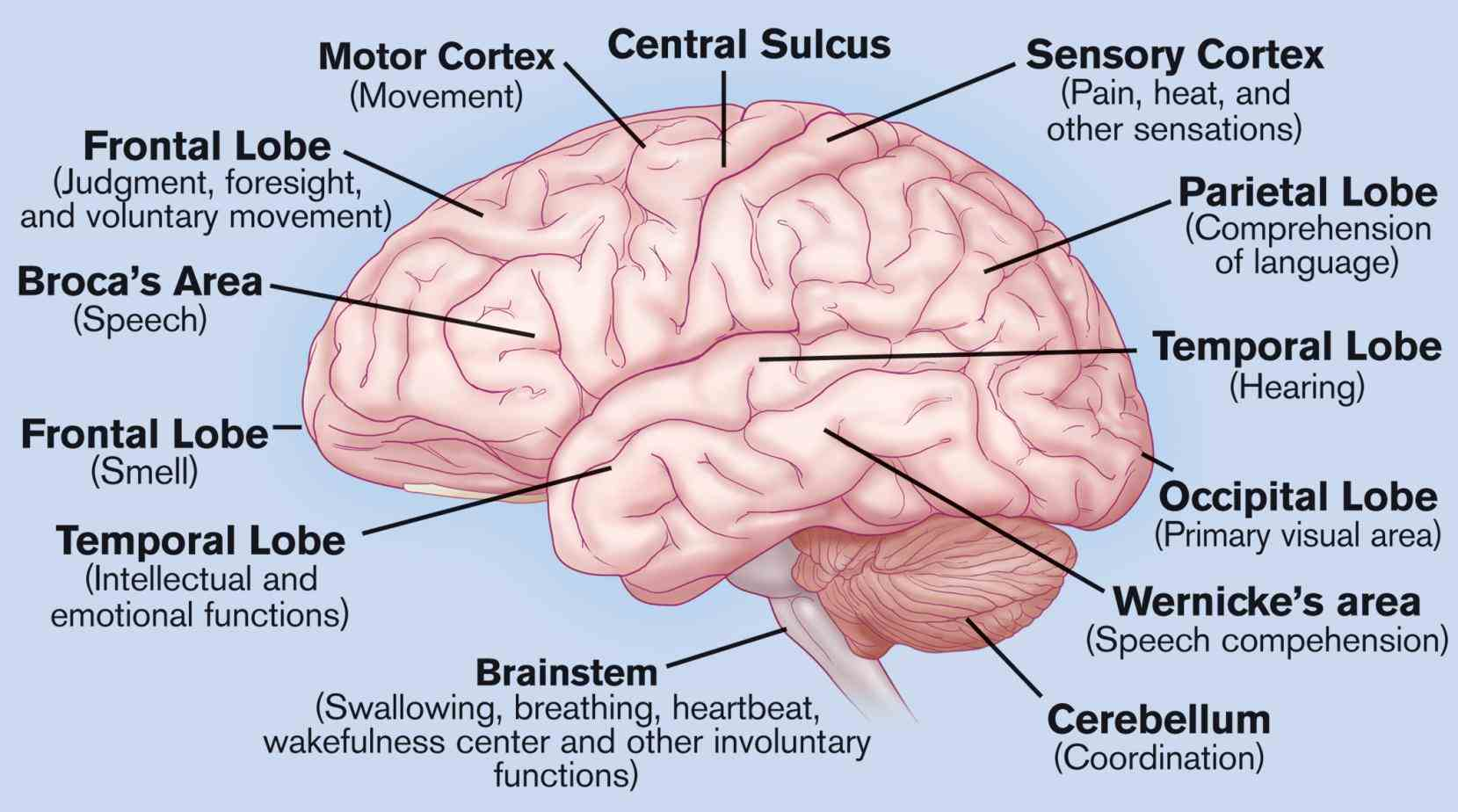 the including its function parts conditions that affect it the Labeled Areas Of The Brain brain controls our thoughts