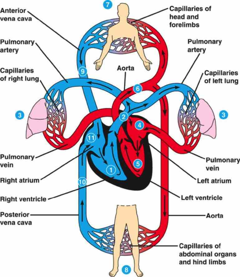 the main purpose of cardiovascular system is to transport blood rich in oxygen and nutrients cells body waste  the