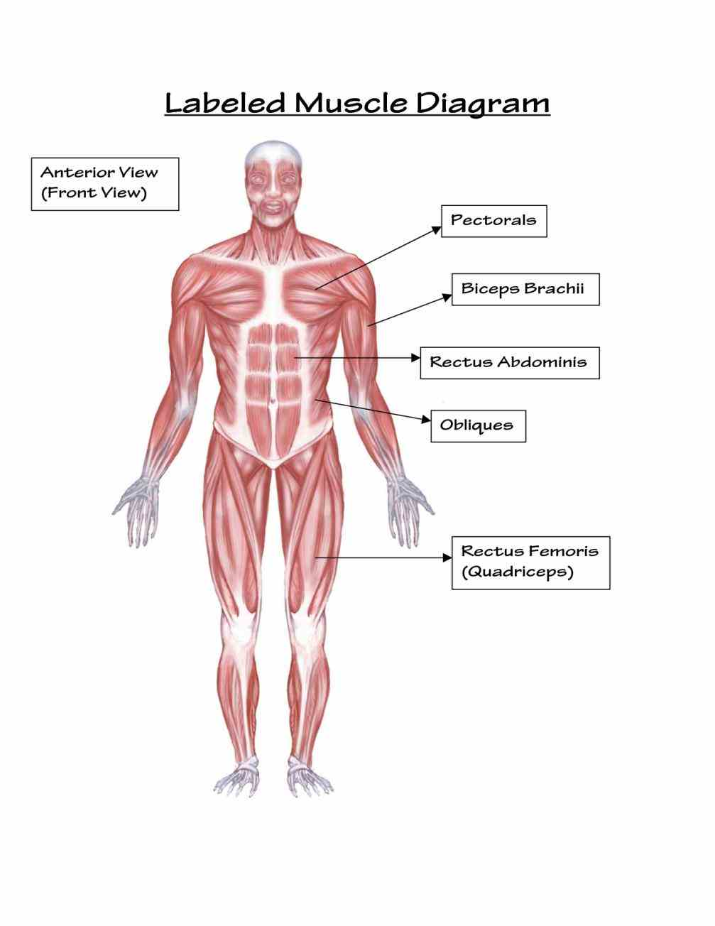the muscles are main contractile tissues of body involved in movement below is basic diagrams used the  the Major