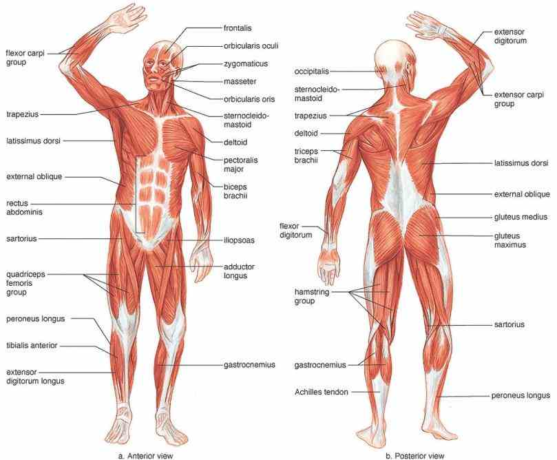 the skeletal system has four components  the Musculoskeletal System Anatomy musculoskeletal system consists of bones joints ligaments muscles and