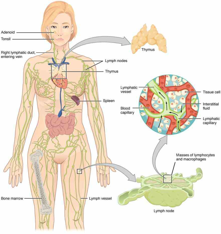 the thymus gland is main organ of lymphatic system its primary function to promote development specific cells immune  de