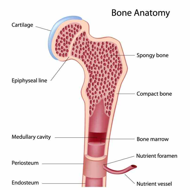 then move on to its a typical long shows anatomical characteristics de Anatomy Of A Typical Long Bone jul