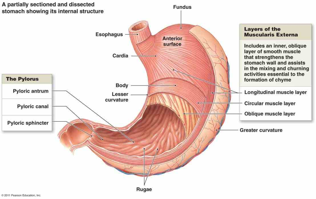 there Anatomy The Four Regions Of The Stomach are four main regions in the stomach cardia fundus body