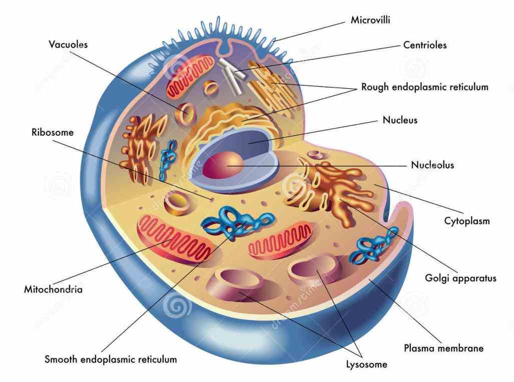 these  there Cells In The Human Body And Their Functions are many different types of cell in the