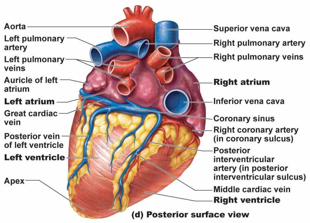 thickness of heart wall varies in different parts atria have a very thin myocardium because they do not need