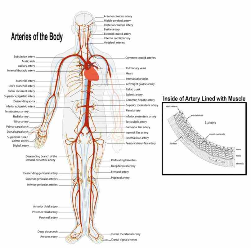 thin layer endothelium  blood Arteries And Veins Structure Anatomy vessels include arteries capillaries and veins which are responsible for