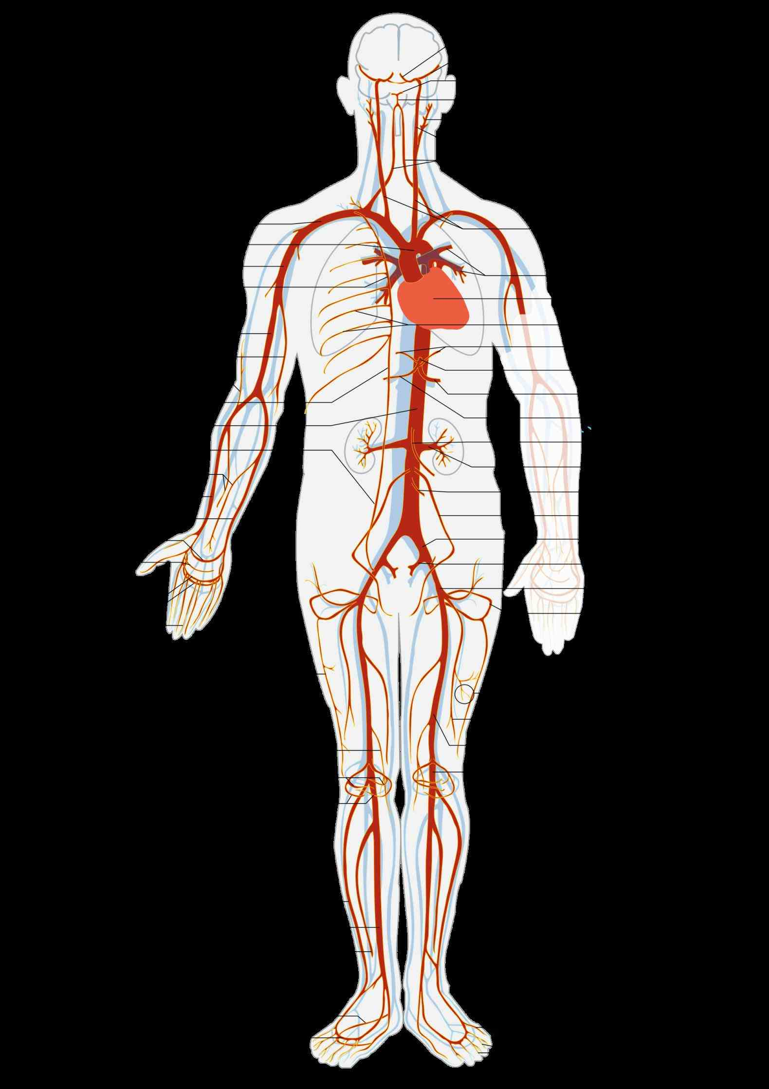 this All Arteries In The Human Body is a list of arteries the human body aorta; head and
