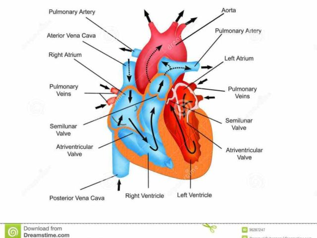 This Labeled Diagram Of The Heart And Blood Flow Diagram