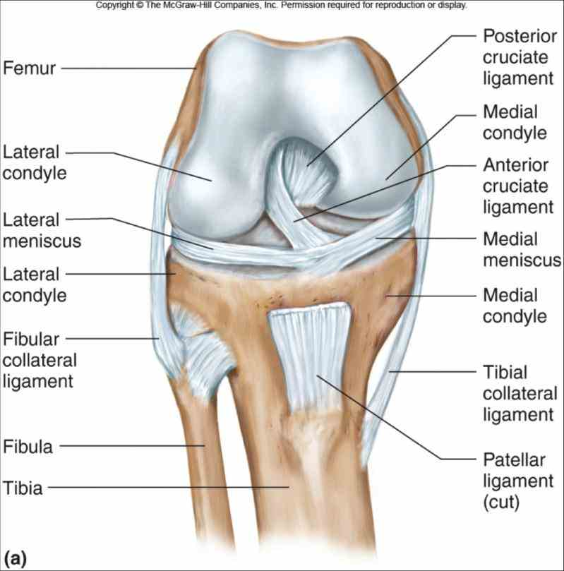 this animation to get Anatomy Of Knee Ligaments a look at the anatomy of knee including ligaments and joints