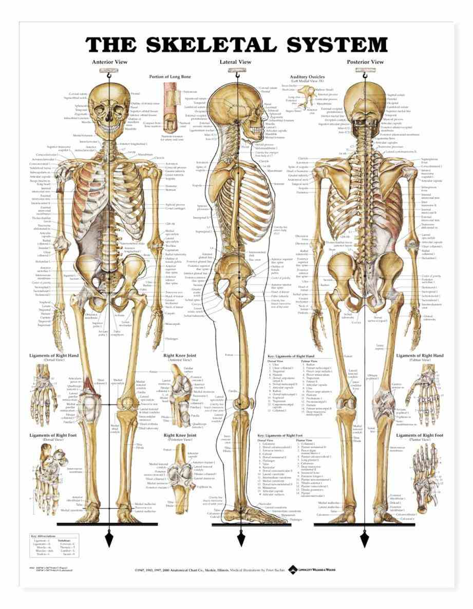this consists of many individual bones and  structure Anatomy Of Bones In Human Skeleton and functions of bones the
