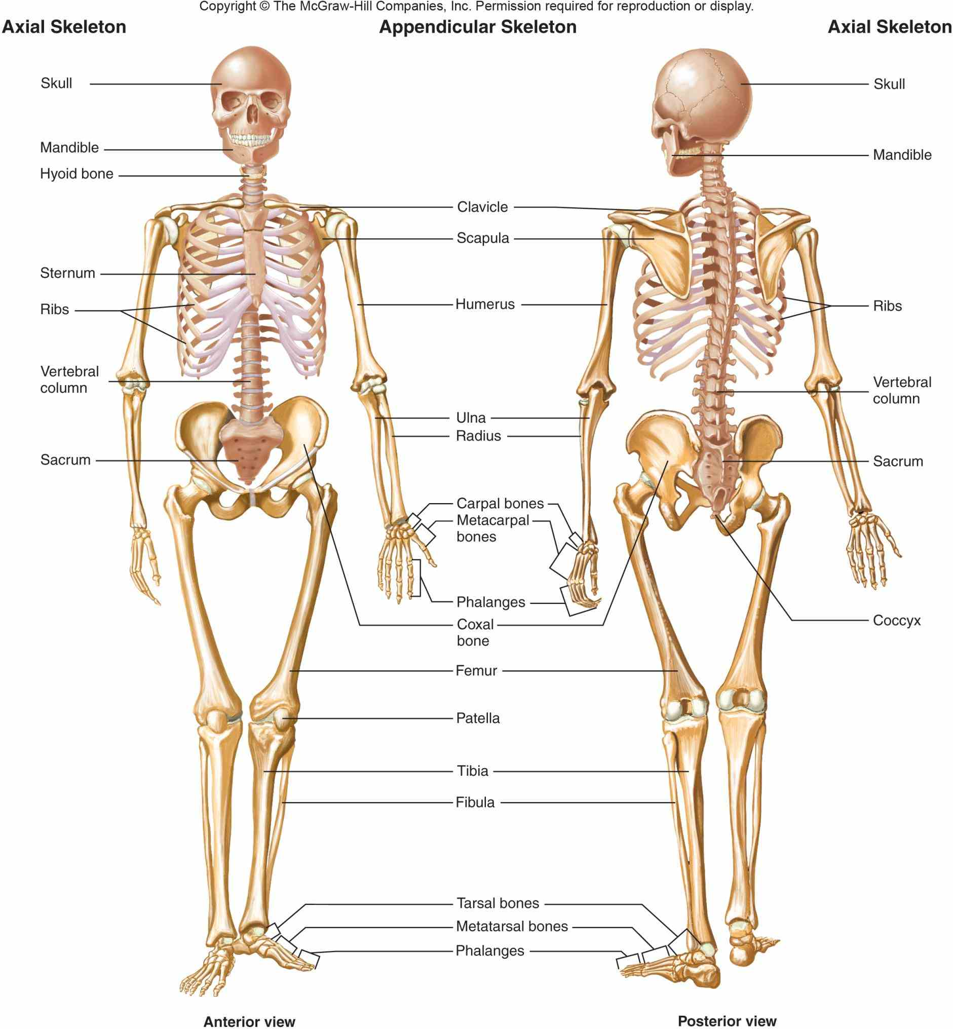 this page includes a labelled diagram is the Appendicular Skeletal System human skeleton can be grouped into two main