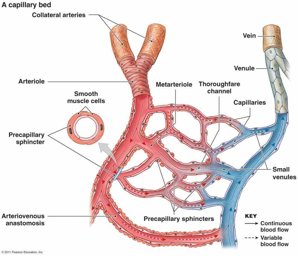 three major types arteries capillaries veins blood if Heart Veins Arteries Capillaries you could see the blood in your