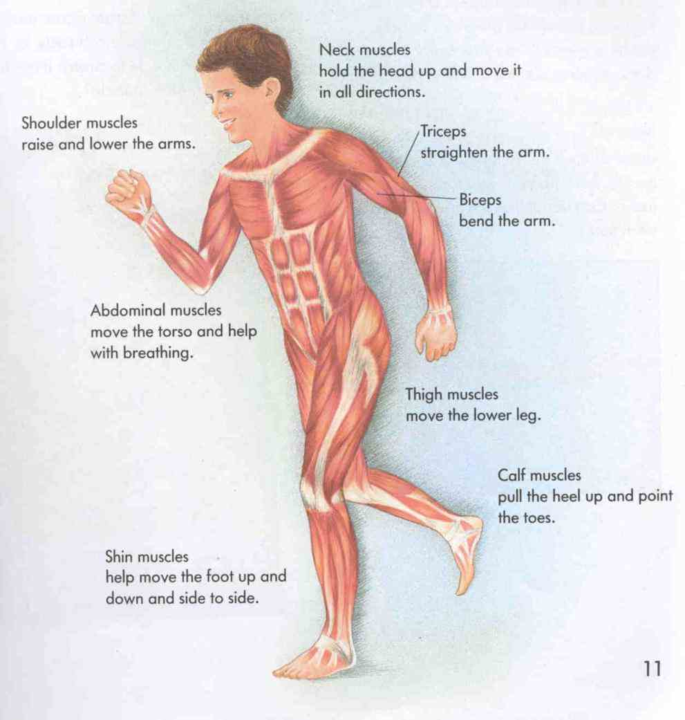 through Muscular System Heat Production contraction the muscular system performs three important functions motion heat production and maintenance