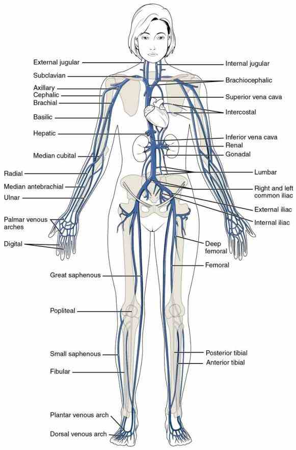 through body  learn Anatomy Of Blood Vessels In The Body more about blood vessel function in the boundless open
