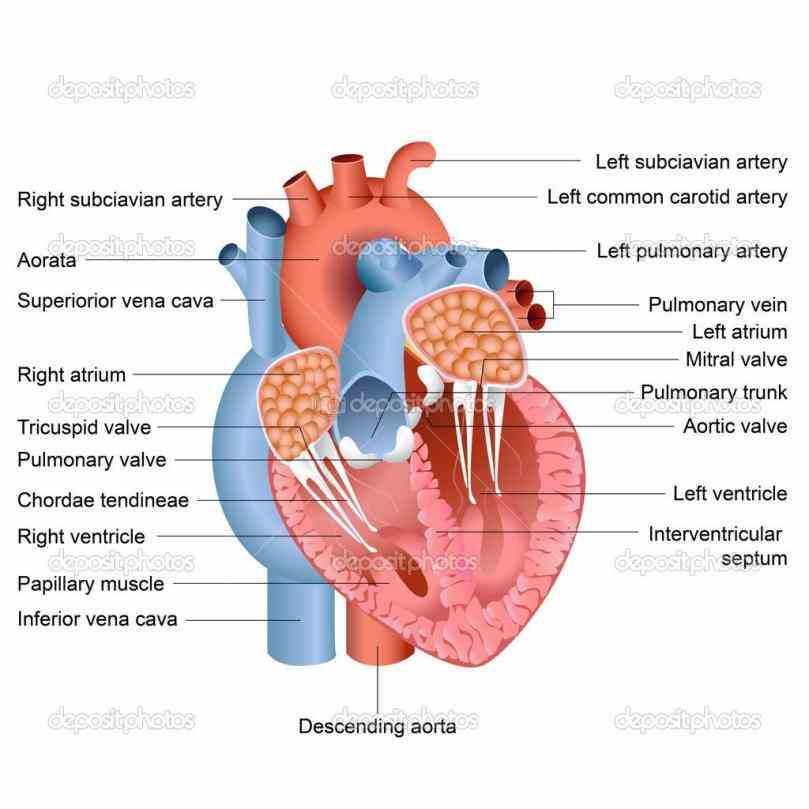 through body oxygenpoor enters the label Heart Anatomy Diagram Label the heart anatomy diagram below using glossary note on