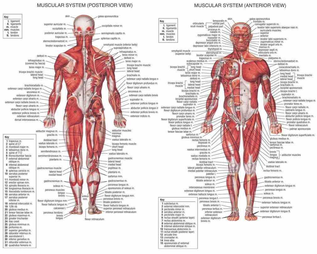 through steady contraction and  this Labelled Muscular System Diagram muscular system diagram shows all the major muscle groups on