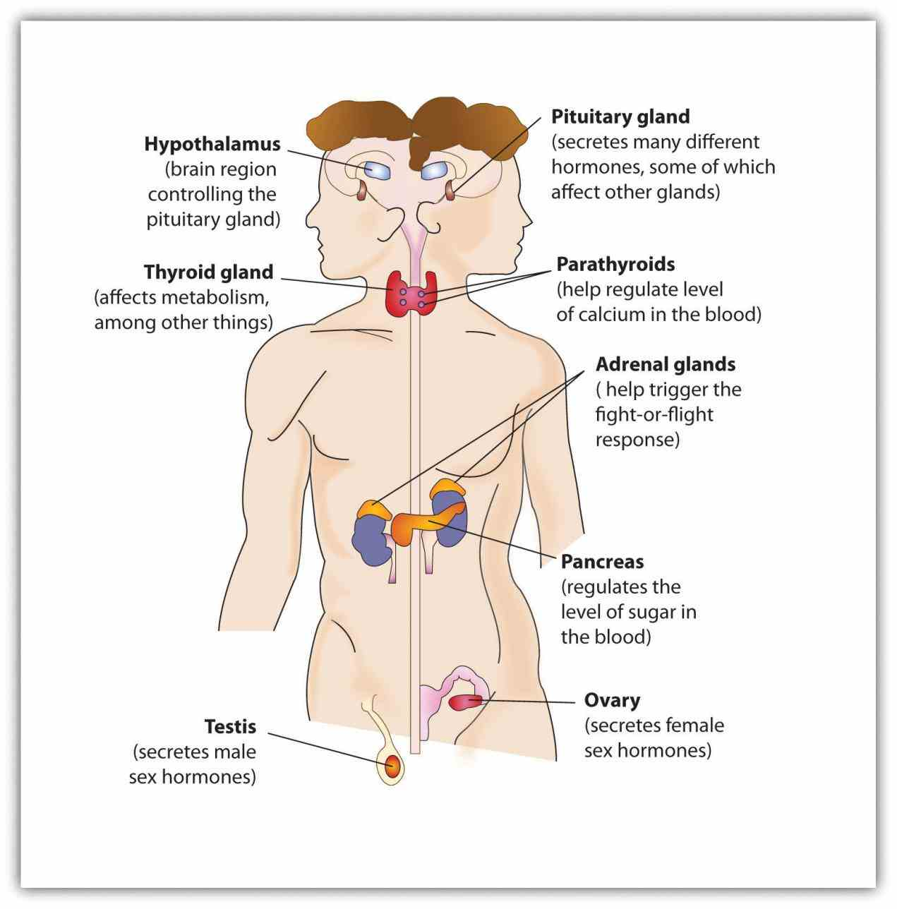 through the endocrine system · endocrinerelated organs factors that affect function ir Endocrine System Organs And Functions para major