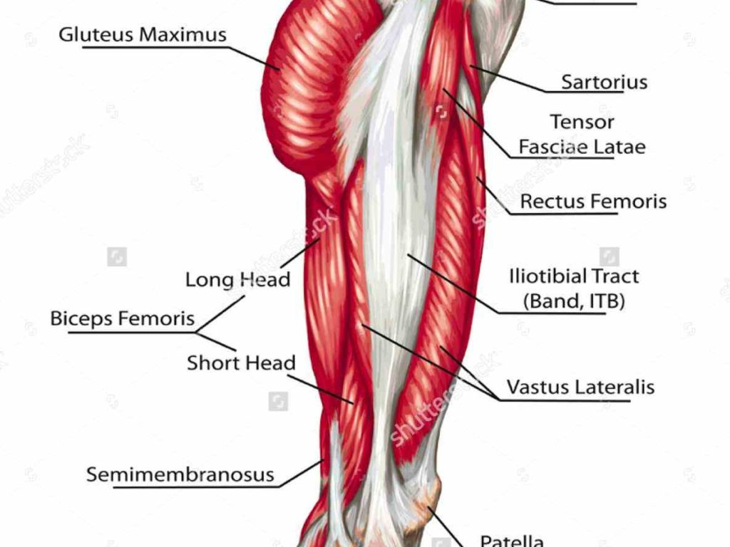 Anatomy of the lower body