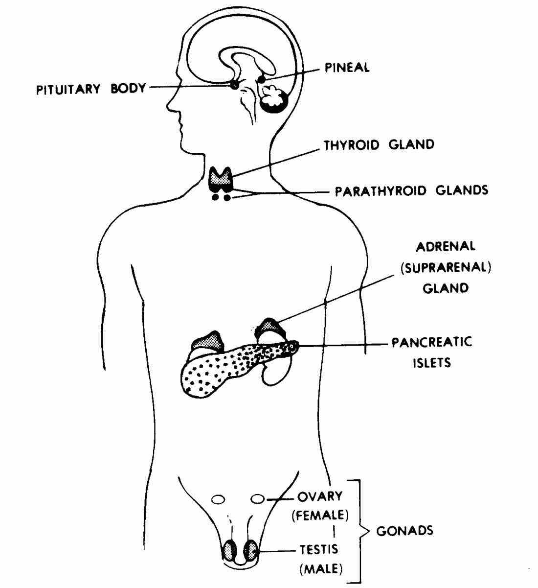 thyroid parathyroids adrenals pineal body and reproductive  there Glands In The Body And Their Functions are different types of
