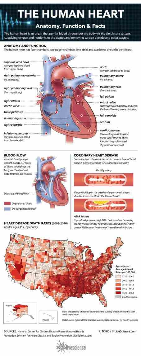 tissues knowledge Parts Of The Human Heart And Their Functions of your heart structure and its function will help
