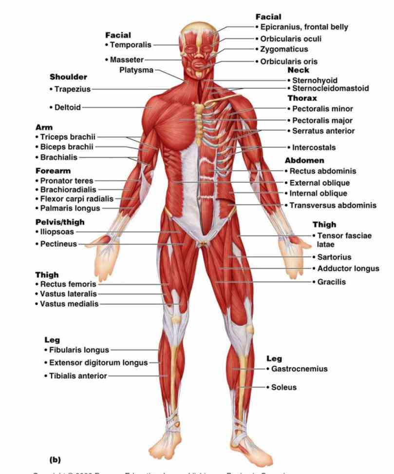 to allow movements at  a Labeled Body Muscle Diagram website to accompany the mcgrawhill textbook human anatomy e by