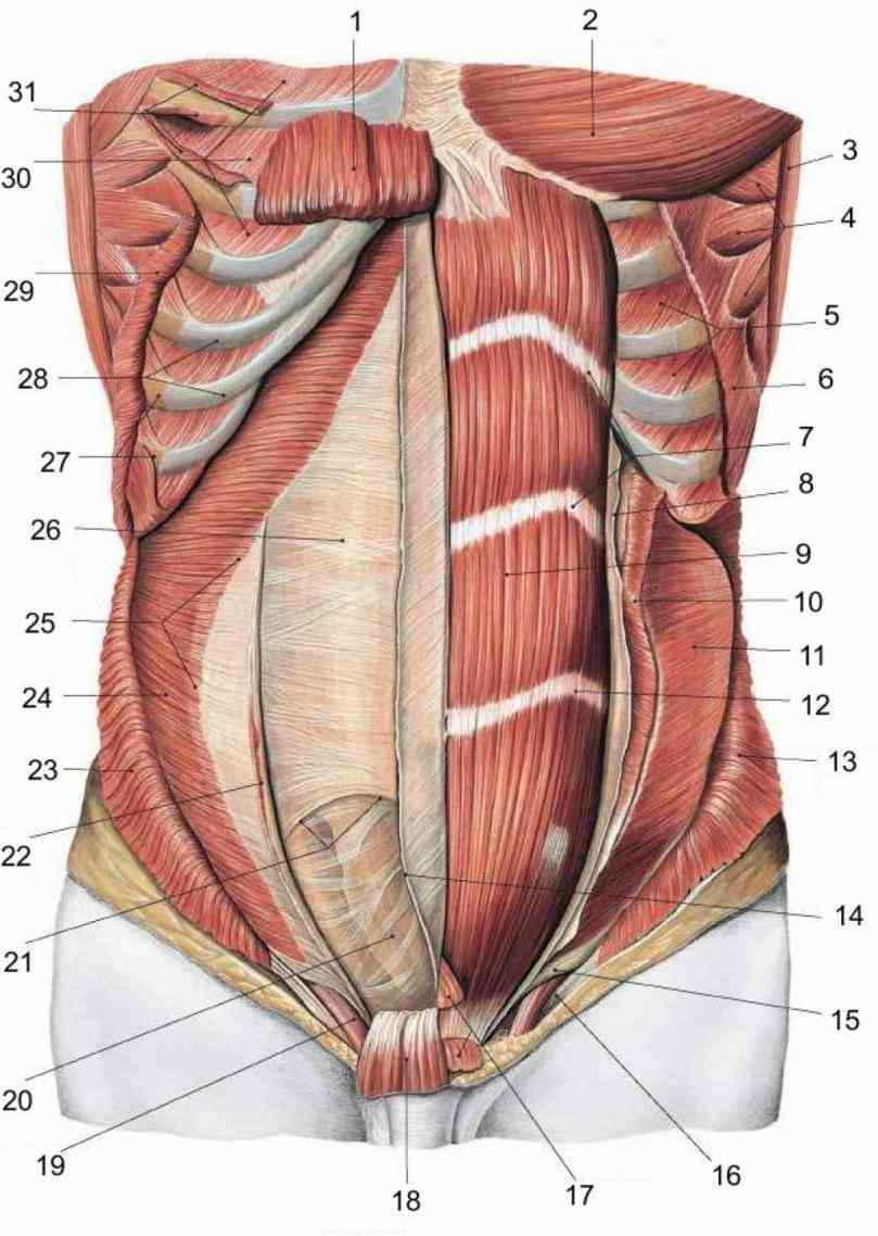to be a kinesiology expert understand the importance of anatomy learn which abdominal muscles do what and exercises train