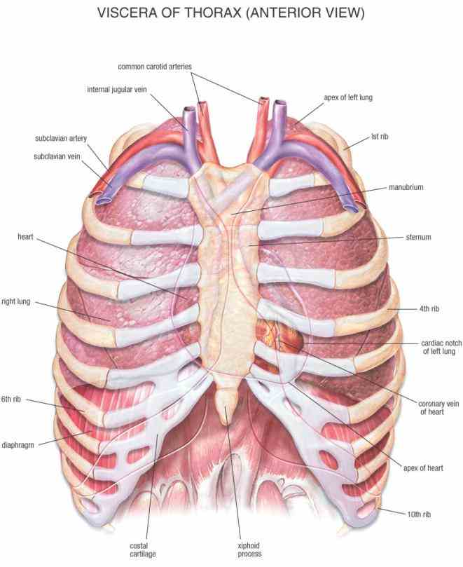 to chest wall structure function geoffrey m graeber md muhammad nazim de Anatomy Of The Ribs And Sternum dez
