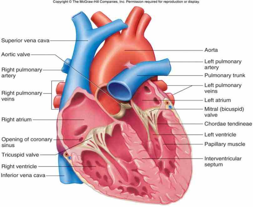 to  coronary Arteries In The Heart Diagram circulation is the of blood in vessels heart muscle schematic diagram arteries