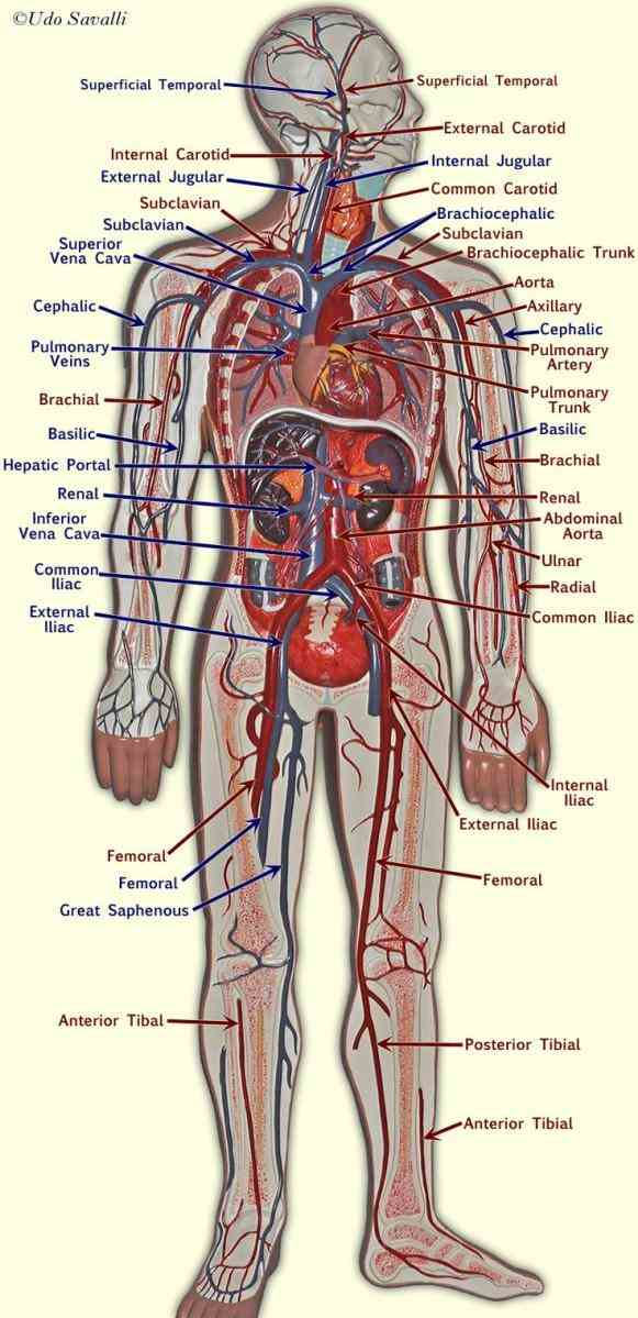 to  in Major Blood Vessels In The Heart this lesson you will learn about the main blood vessel that