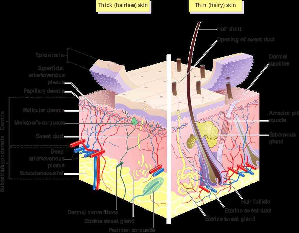 to next available  pictures Pictures Of The Integumentary System Labeled of the integumentary system labeled human skin diagrams anatomy