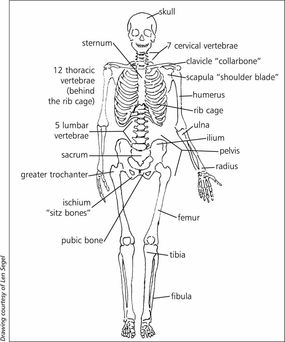 to skeletal the Musculoskeletal System Structure human skeleton is a collection of bones that provide framework for body do