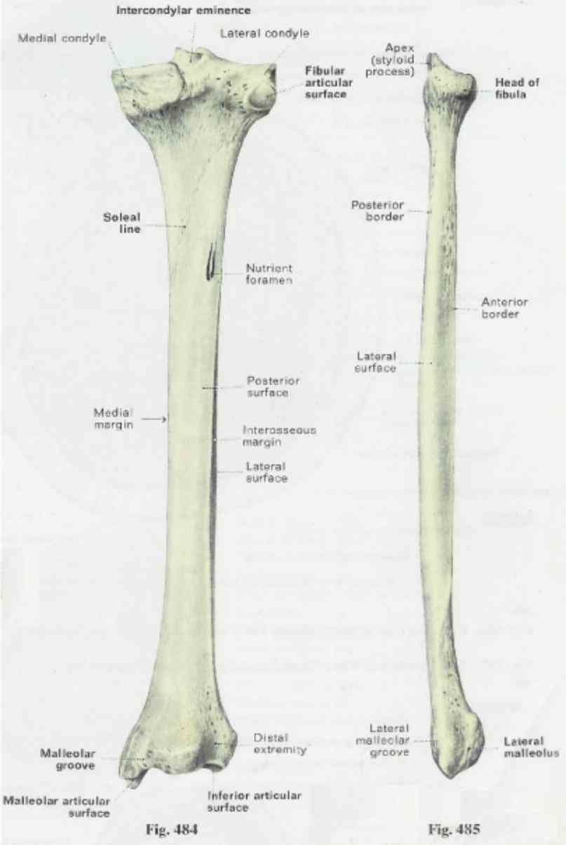 to tibia or shin plays a significant role in stabilizing ankle and  tibia Anatomy Tibia And Fibula Diagram is