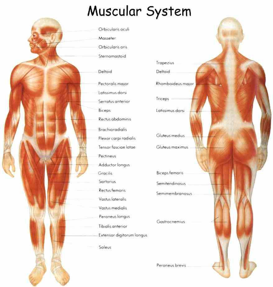 to two bones across a joint so muscle serves move parts of  design Main Parts Of The Muscular System