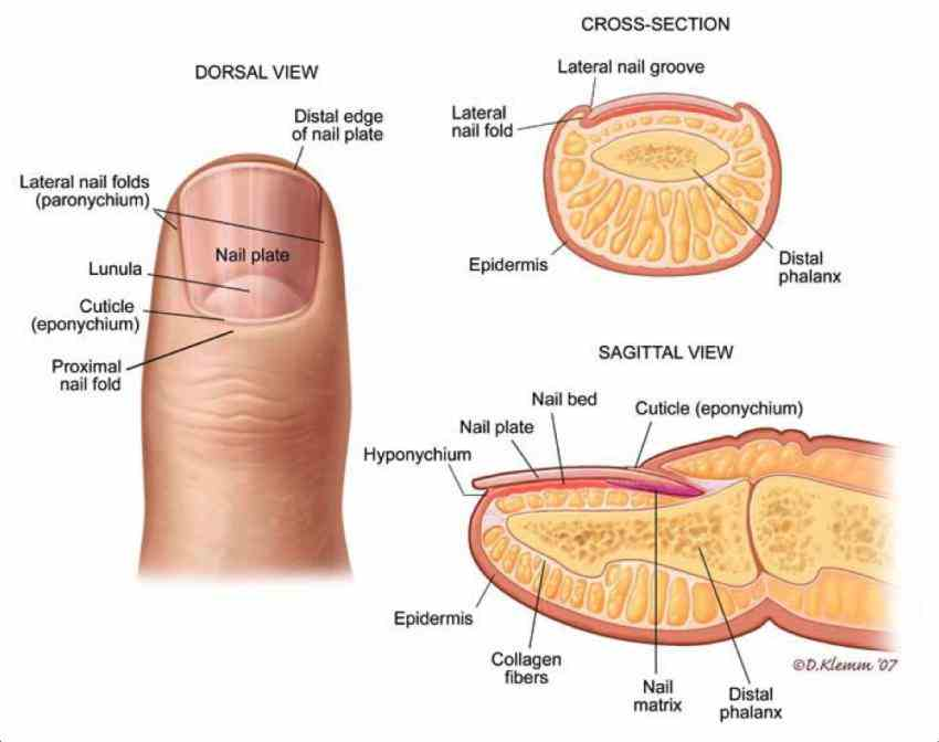 tool that protects fingertip contributes to tactile sensation by  de Anatomy Of The Fingernail nov nail anatomy authors doug