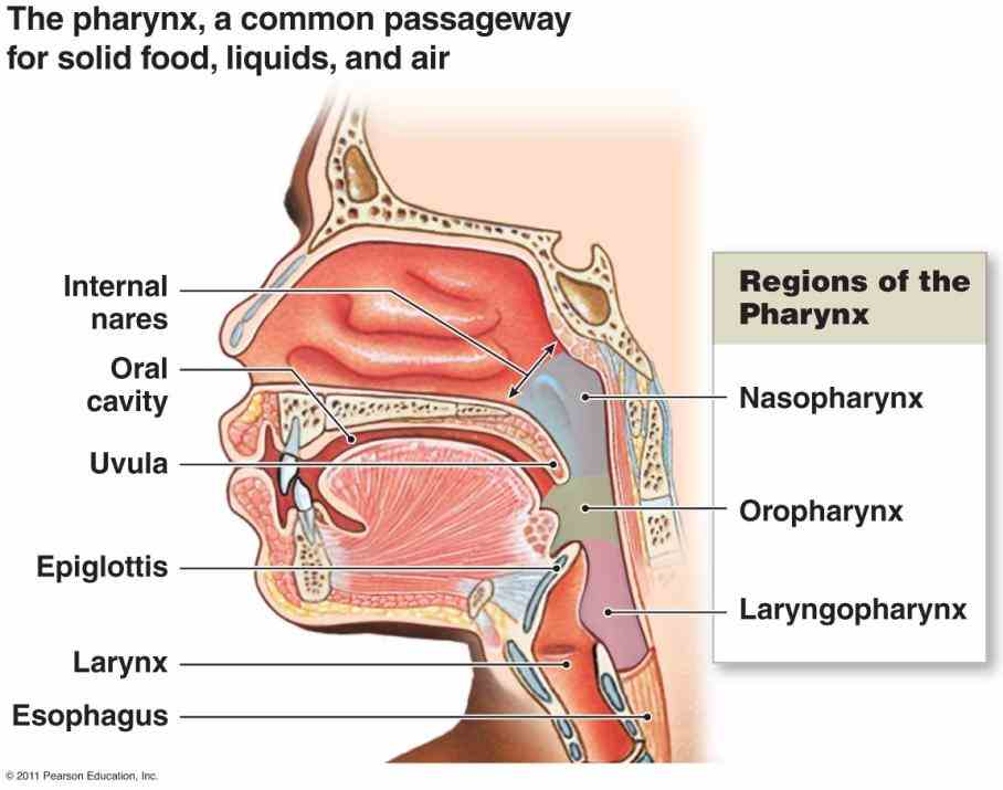 transports saliva liquids and foods from mouth to stomach when patient upright is  here Esophagus Function And Structure is