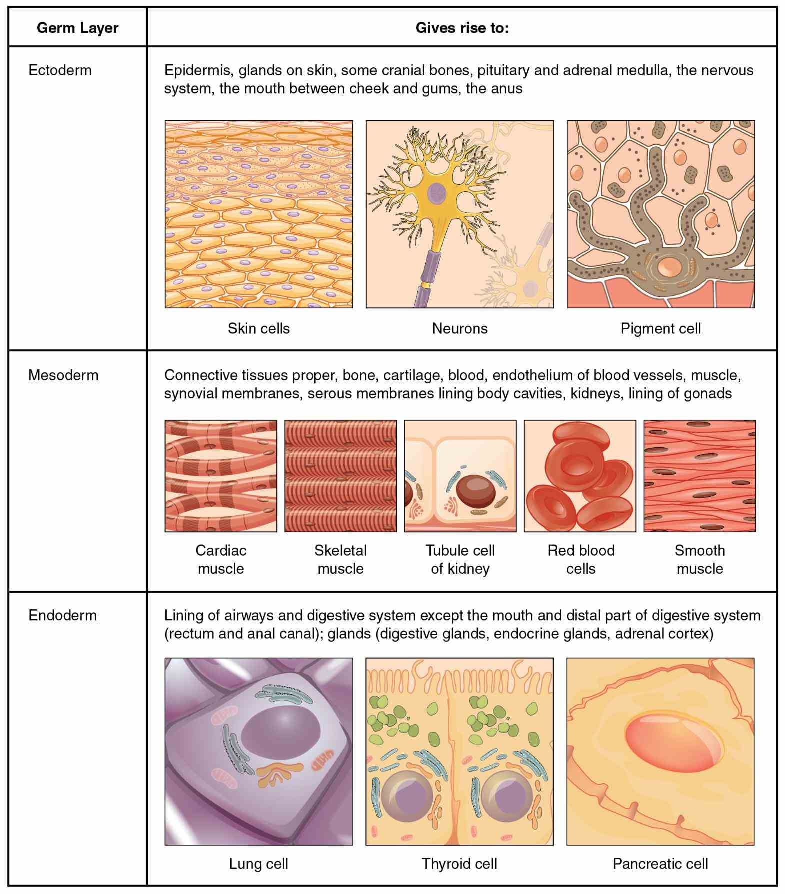 type that lines surfaces cavities your bodys organs is no one places found in bladder start Epithelial Tissue Location