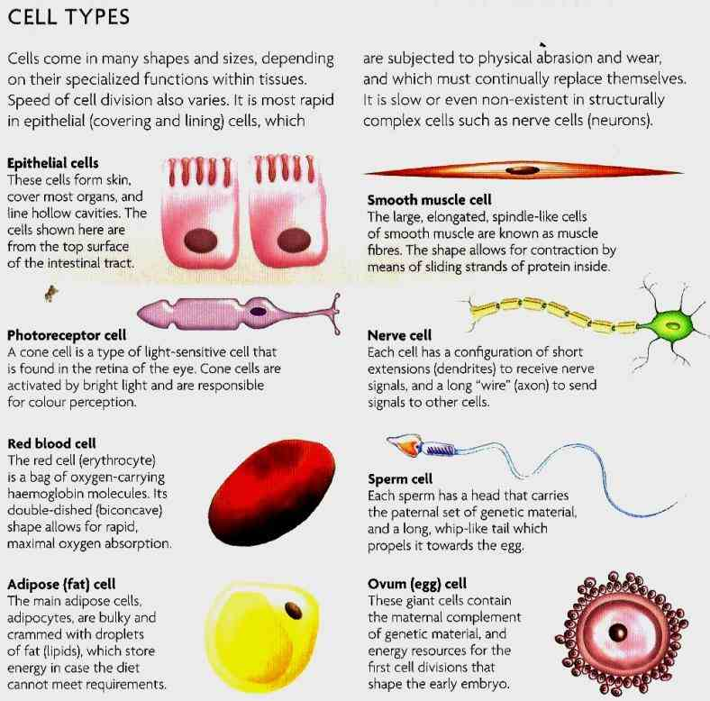 types Cells In The Human Body And Their Functions of cells in the human body are quite few
