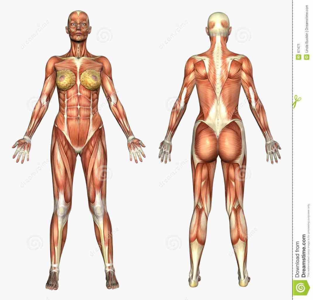 typical most mammals we nurse our babies have highly de Human Anatomy Of Female out the female reproductive system