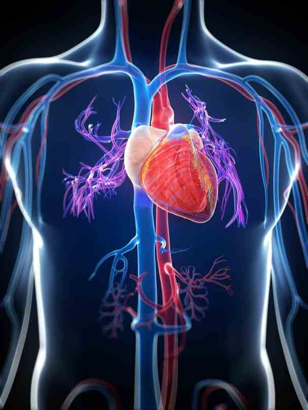 up on your ticker with this body basics article comthe Cardiovascular System cardiovascular system consists of the heart and
