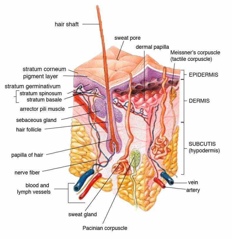 up your skin layers hair nails are there noticeable blemishes on the etc there Integumentary System Parts And Their