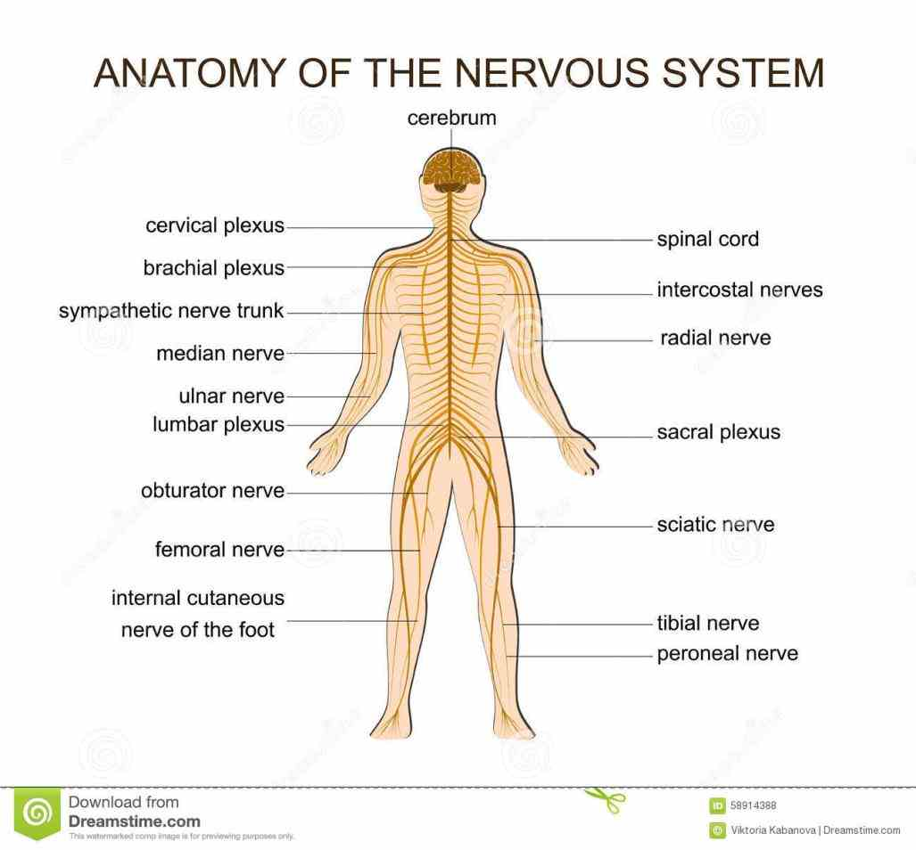 us to perceive comprehend and respond world around also operates bodys essential physiologic  organization Anatomy The Nervous System of