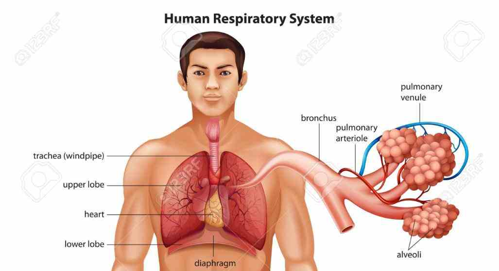 used for process respiration in an  the Anatomy Of Human Respiratory System respiratory system which includes air passages pulmonary