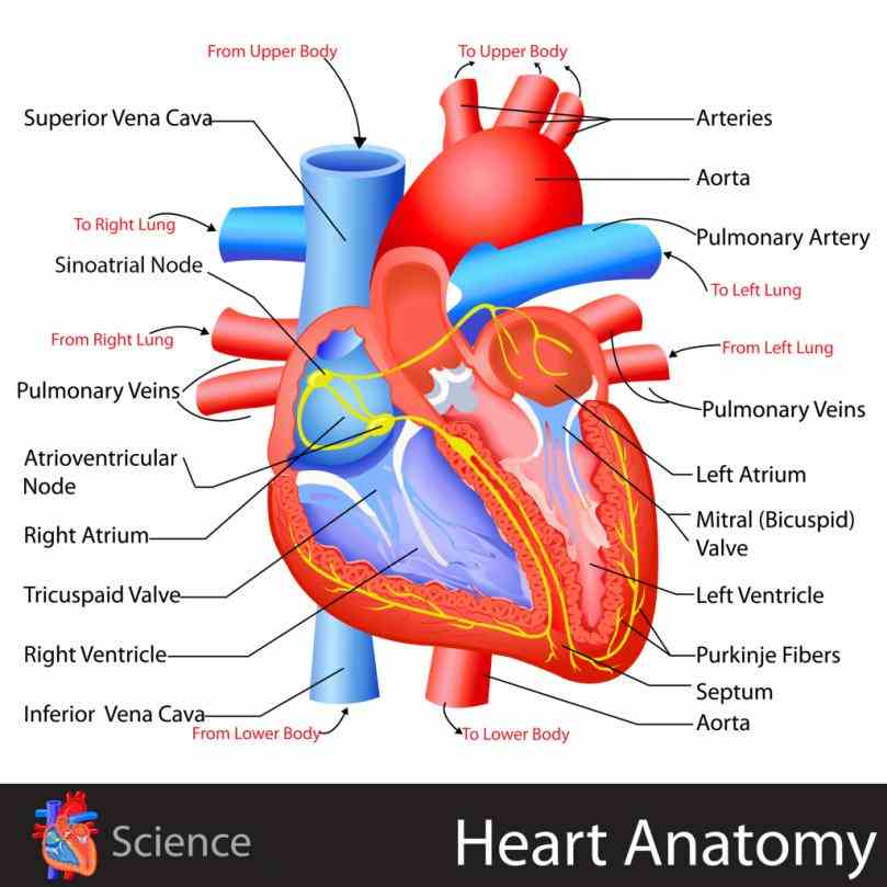 uses different colors to show parts and also labels a number of important heart  basic Heart Diagram With Labels