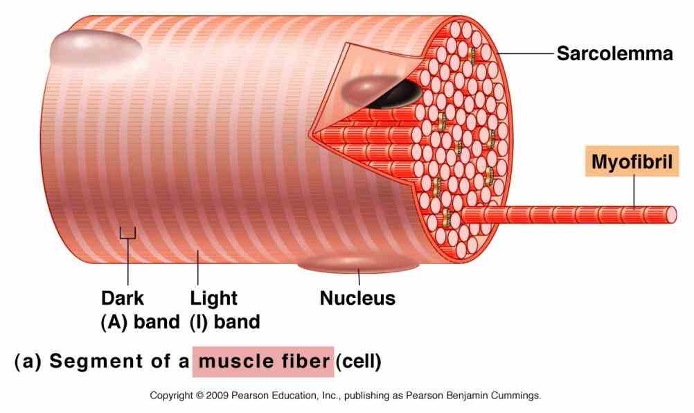 using interactive animations diagrams skeletal Anatomy Of A Skeletal Muscle Fiber muscles vary considerably in size shape and arrangement