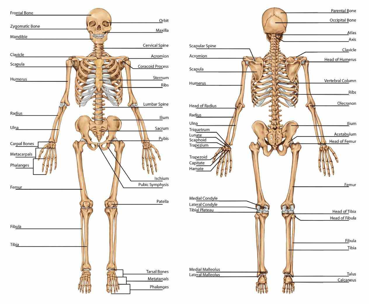 various regions of human body through draganddrop exercises anatomy Major Regions Of The Body Anatomy • is the study