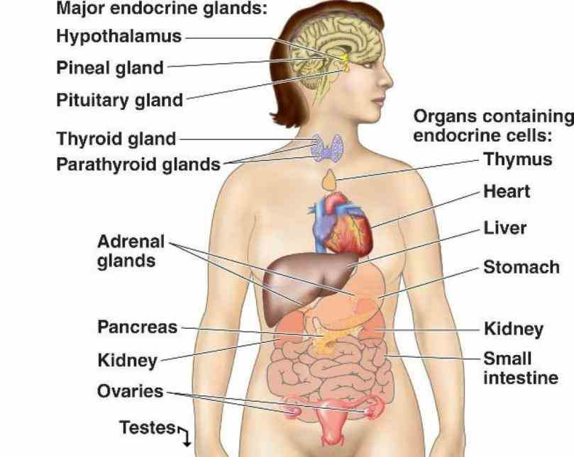 vectors or photos for endocrine system you related glands endocrinology hormones digestive  labeled Endocrine System Diagram Labeled diagram of