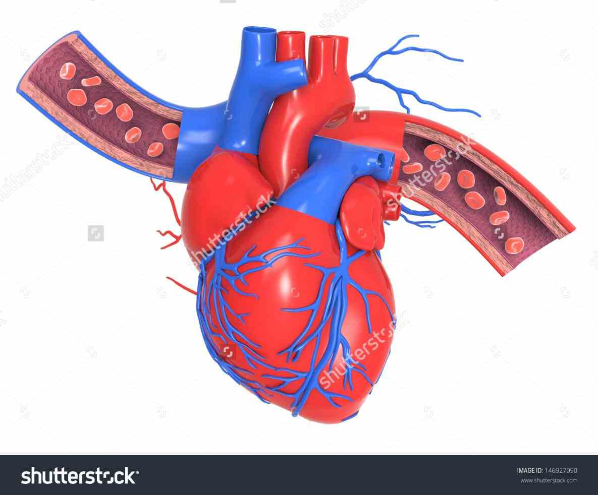 veins at first glance the study of human the Human Arteries And Veins Of The Heart blood from heart