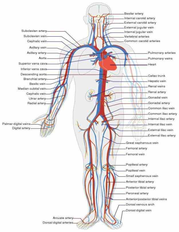 veins have the same layers of tissues in their walls but proportions these differ lining core each is a